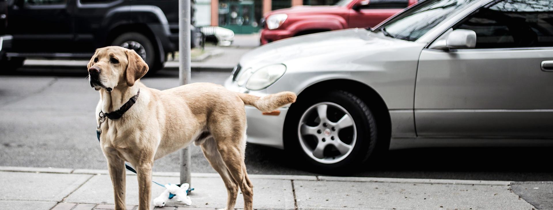 Perro vigilando el coche
